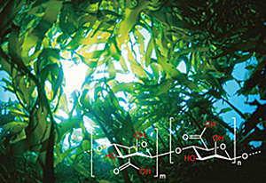 天然保湿のアルギン酸
